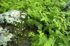Cold Mountain Fern Forest