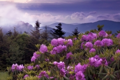 Roan Rhododendron and Fog